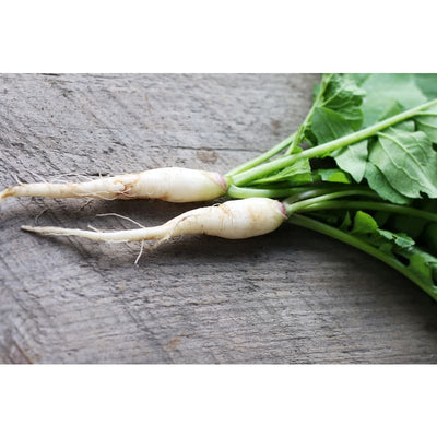 White Icicle Radish (Heirloom 30 Days) - Vegetables