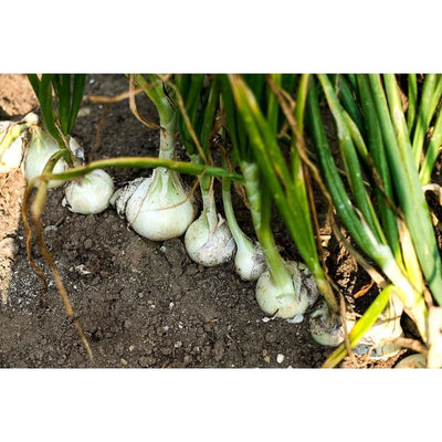 White Sweet Spanish Onion (110 Days) - Vegetables