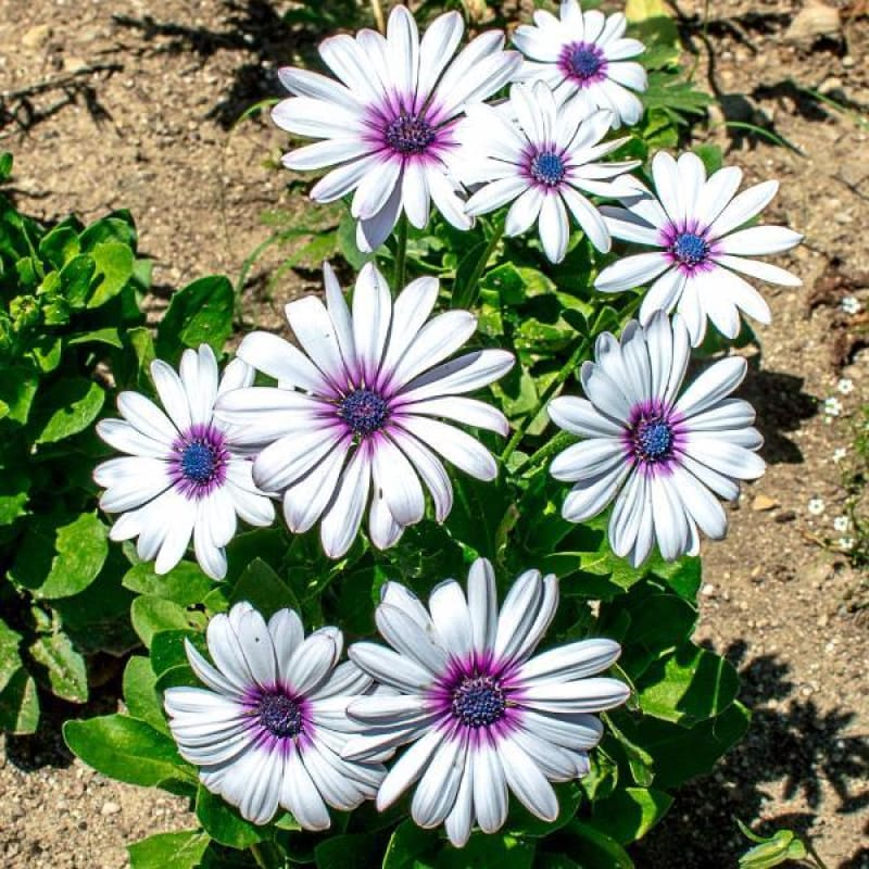 White with Purple Eye African Daisy - Flowers