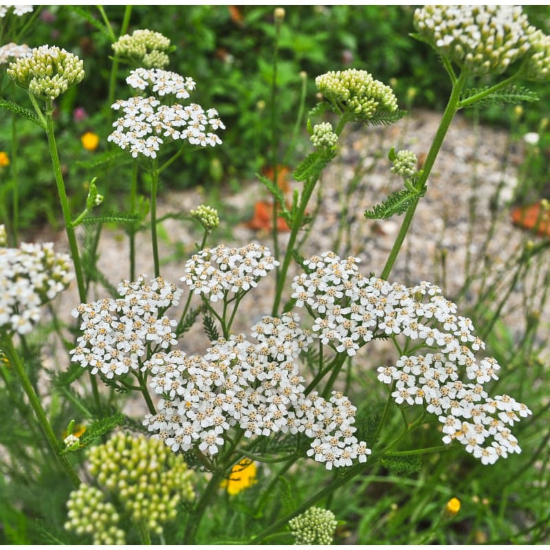 White Yarrow - Flowers