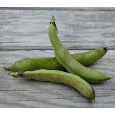 Windsor Fava Bean (75 Days) - Vegetables