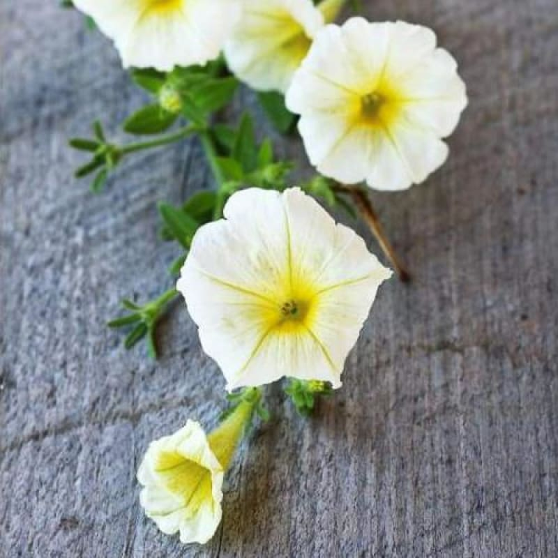 Yellow Beauty Petunia - Flowers