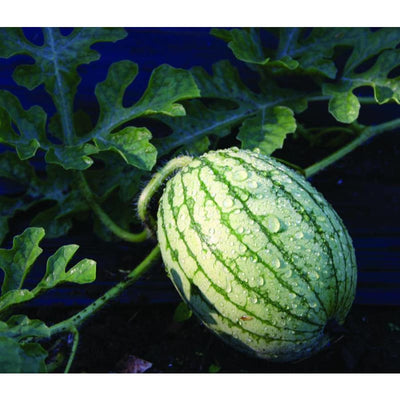 Yellow Petite Watermelon (80 Days) - Vegetables