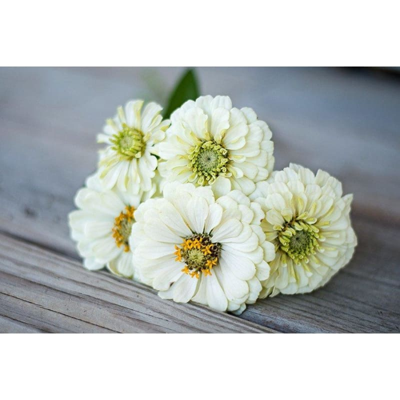Zinnia - Purity - Flowers