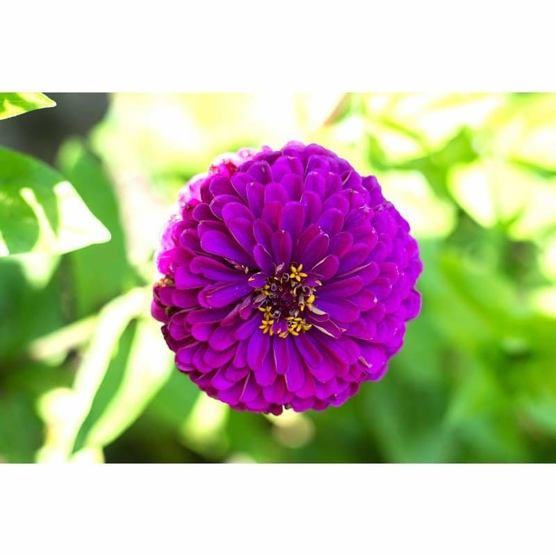 ZINNIA - ROYAL PURPLE - Flowers