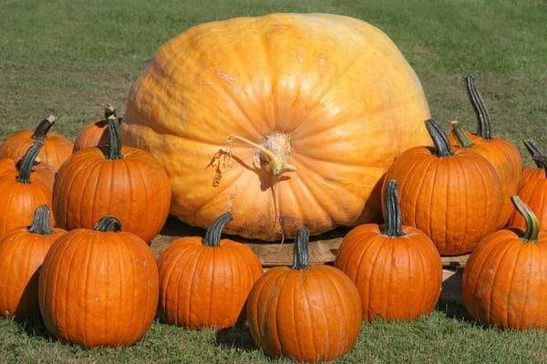 How to Grow Giant Pumpkins Successfully