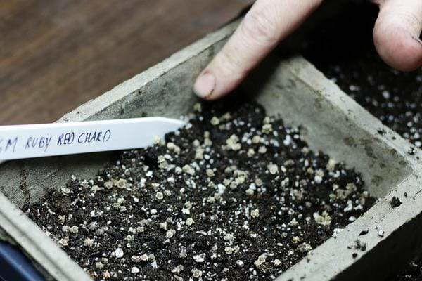 pressing microgreens seeds into dirt in a seed flat