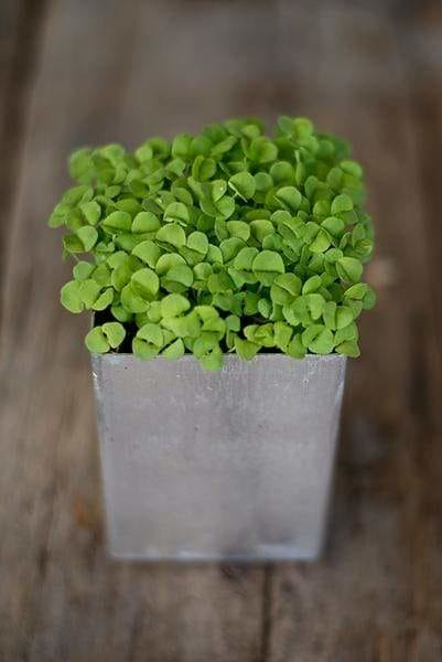 basil microgreens in a metal container