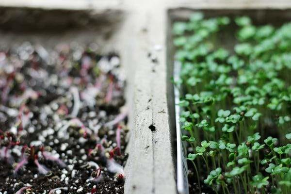Sprouted microgreen seeds in seed flat