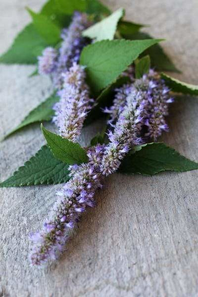 Anise hyssop on table