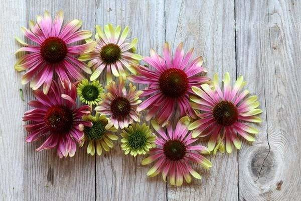 Green Twister Echinacea Flowers on wood