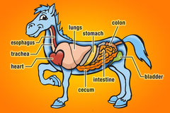 chart of horses internal organs