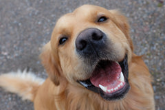 smiling golden retreiver