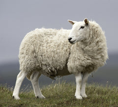 sheep standing in a field on a gray and cloudy morning