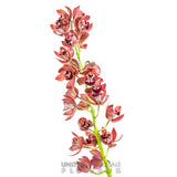 Cymbidium Orchid Mini