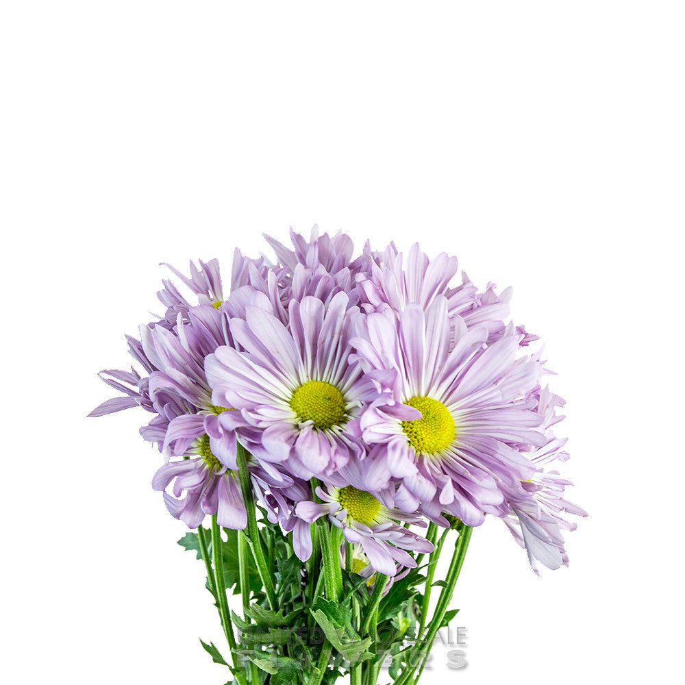 Pompons Daisy United Wholesale Flowers
