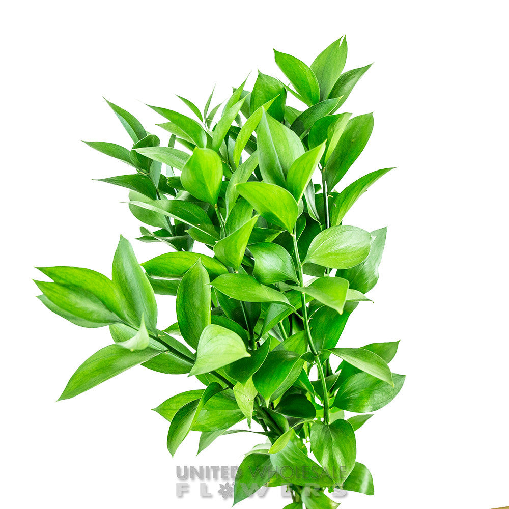 Ruscus United Wholesale Flowers