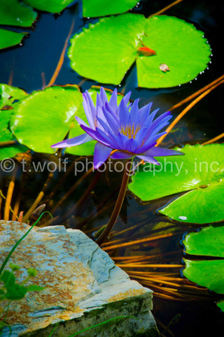 AIPL 007 - Water Lilly