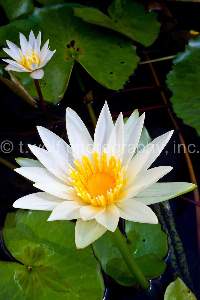 AIPL 008 - White Water Lillies