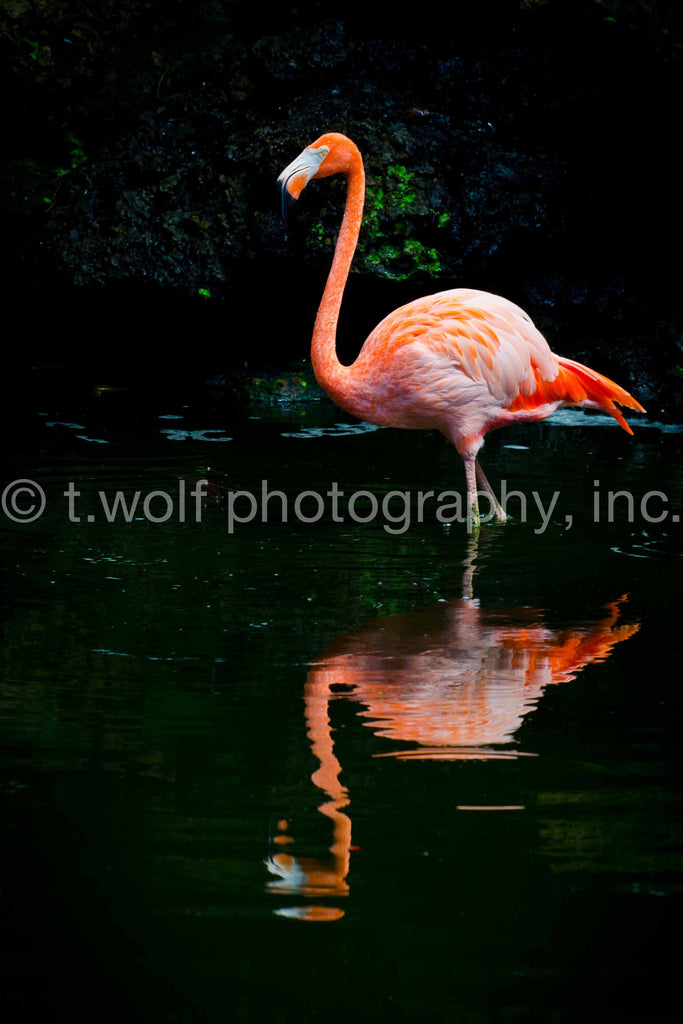 FL 010 - Flamingo Reflection