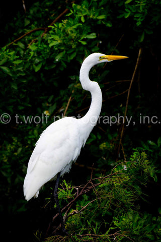 FL 021 - Great White Heron