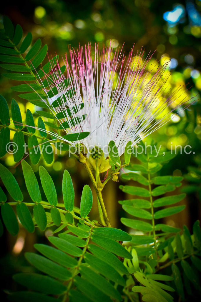 FL 039 - Naples Mimosa Flower