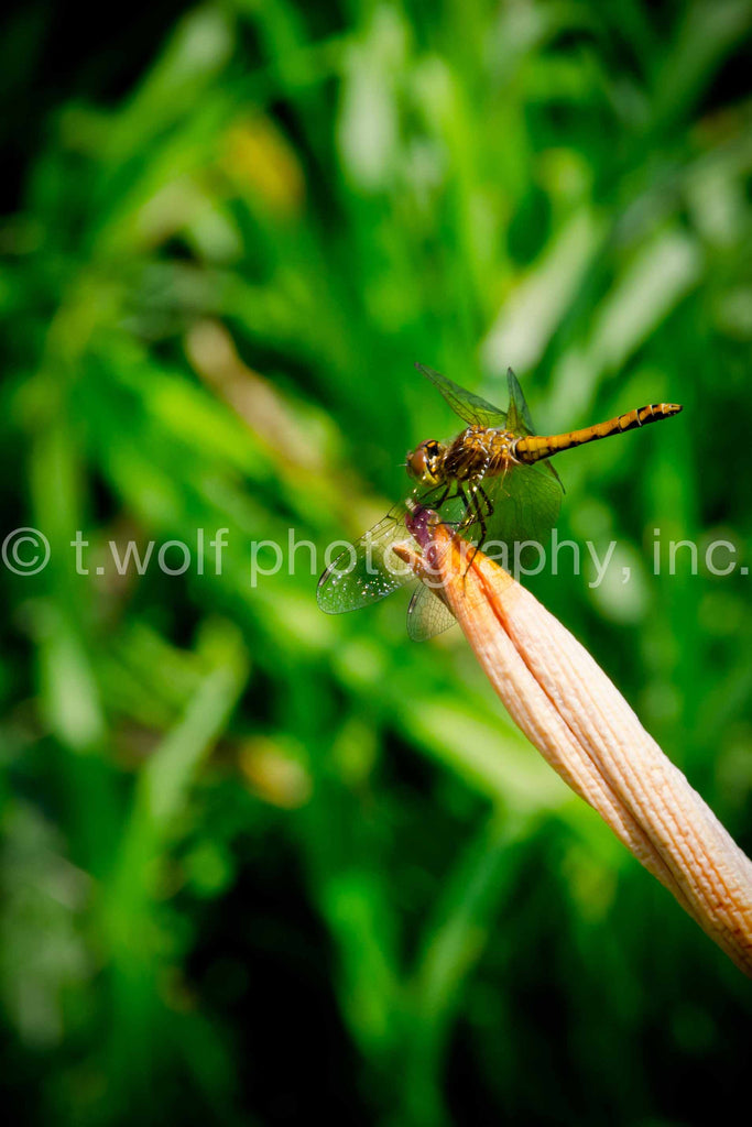 NE 024 - Wheat Field Dragonfly
