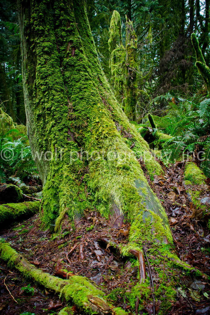 WC 026 - Rainforest Tree Moss