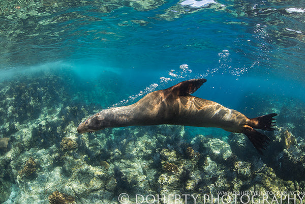 Female Sea Lion Blowing Bubbles