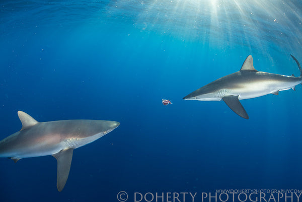 Silky Sharks Eating Chum