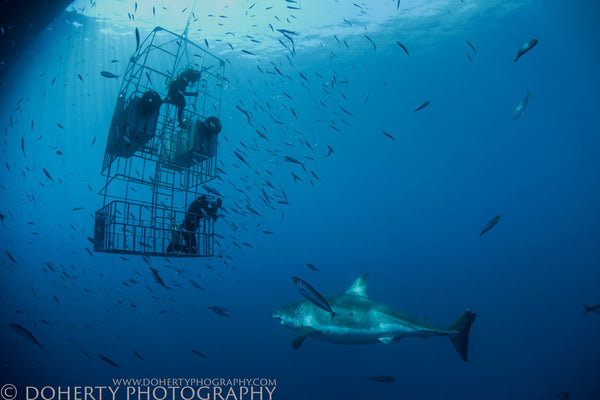 Great White Outside Cage