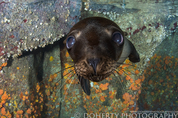 Puppy Dog Eyes California Sea Lion
