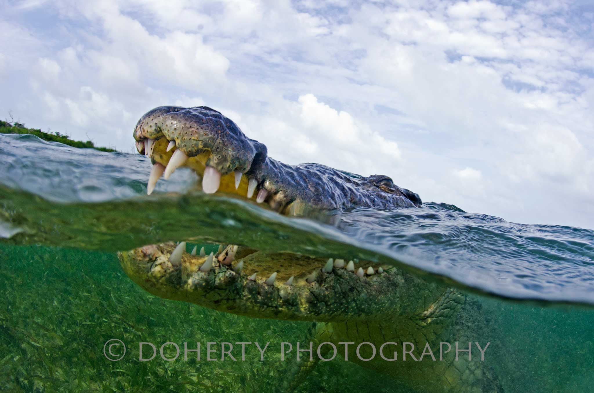 Crocodile Smile - Doherty Photography