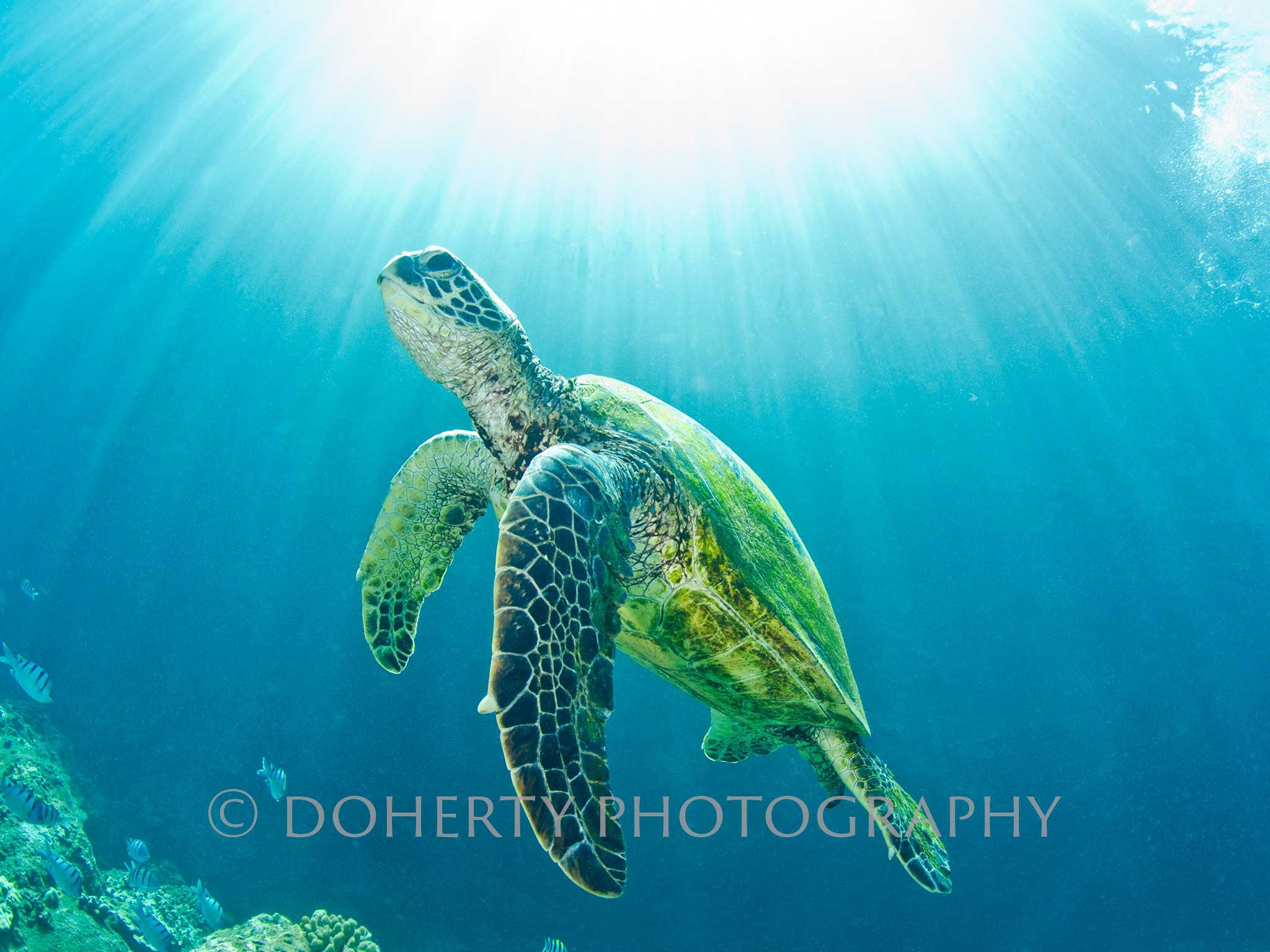 Hawaiian Green Sea Turtle - Doherty Photography