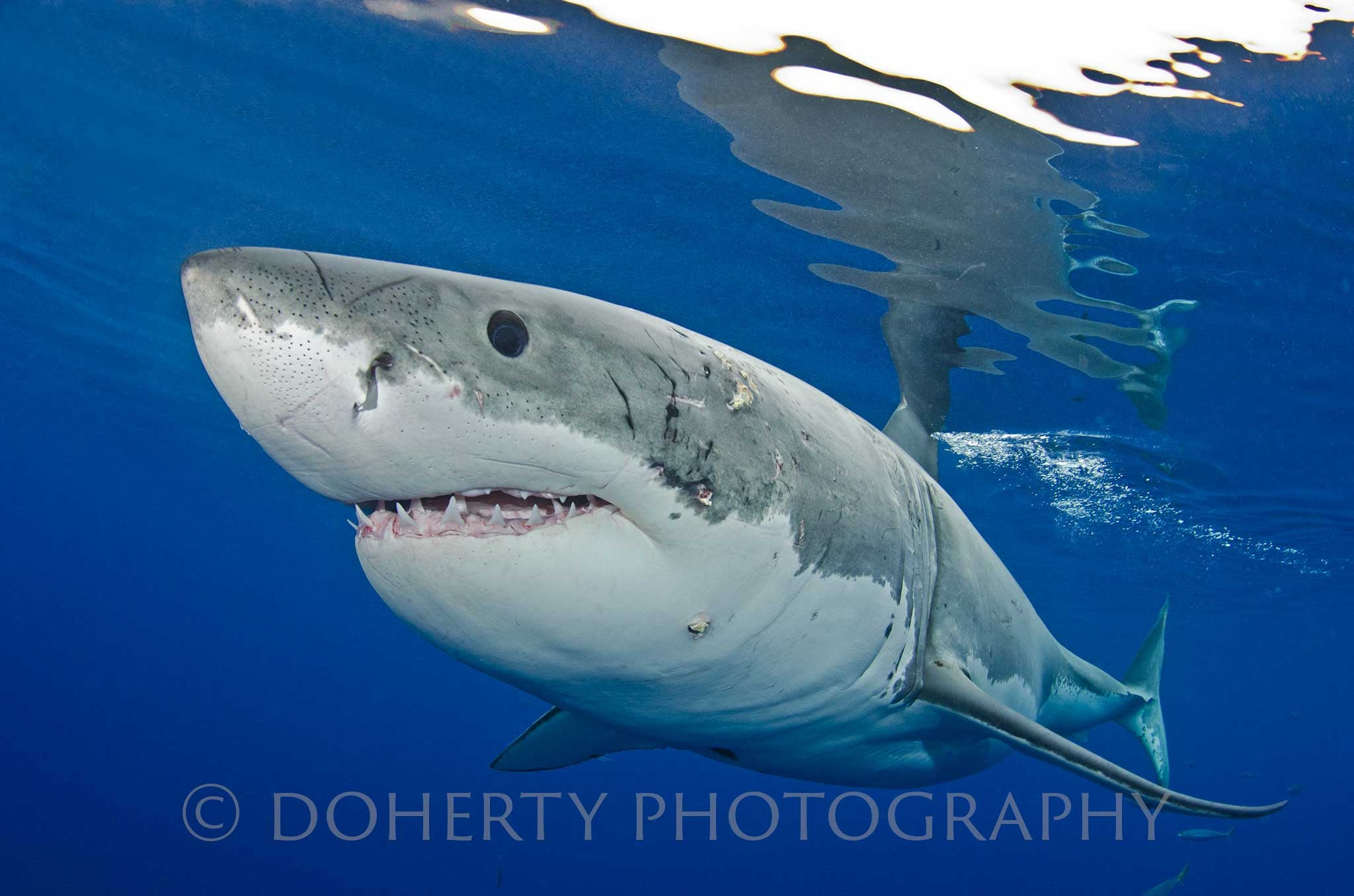 Great White - Doherty Photography