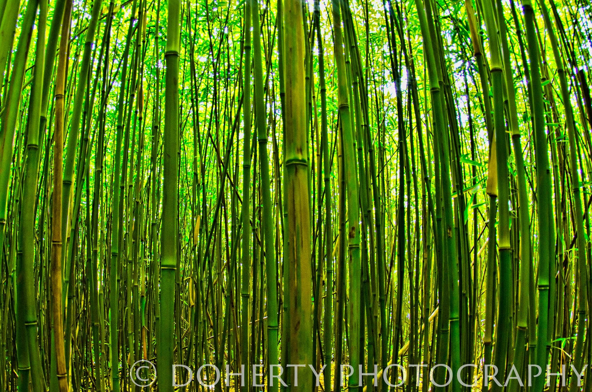 Bamboo Forest - Doherty Photography