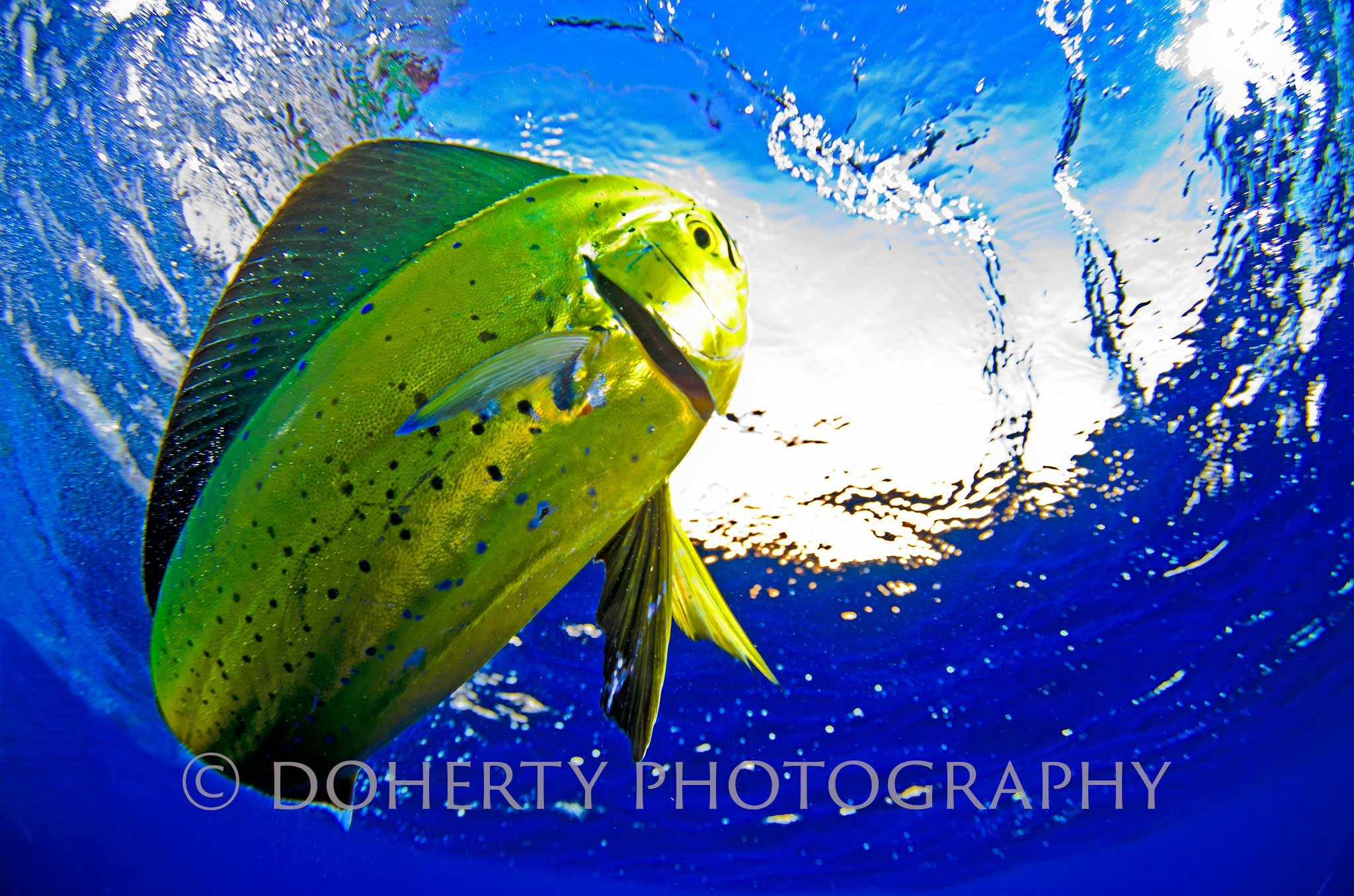 Mahi Mahi - Doherty Photography