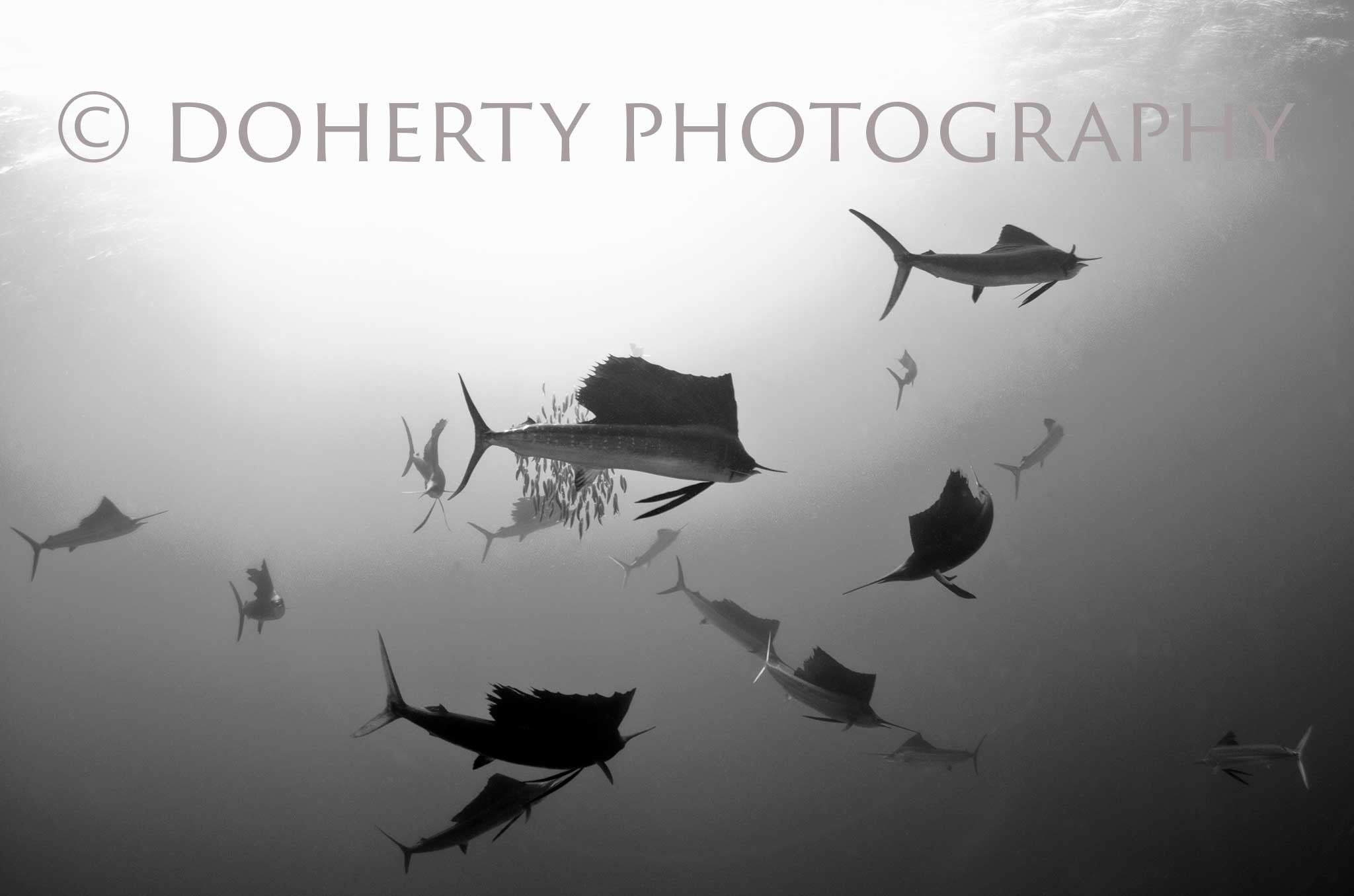 Atlantic Sailfish - Doherty Photography