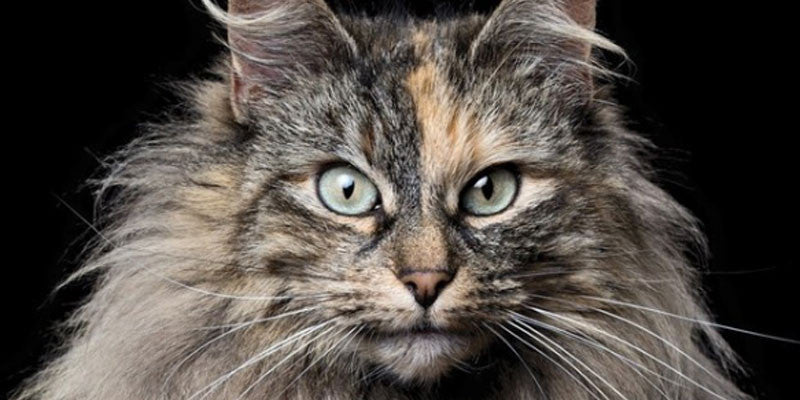 17 Cutest Cat Breeds