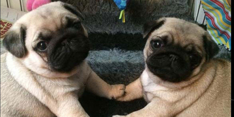 19 of the Custest Pugs Ever