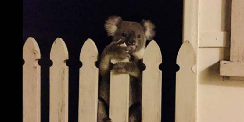 This Brave Pooch Found A Koala And The Internet Can't Take It!
