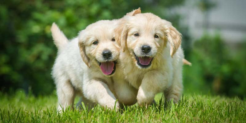 Top 5 Reasons to Adopt a Puppy