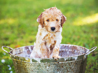 hypoallergenic shampoo for your dog