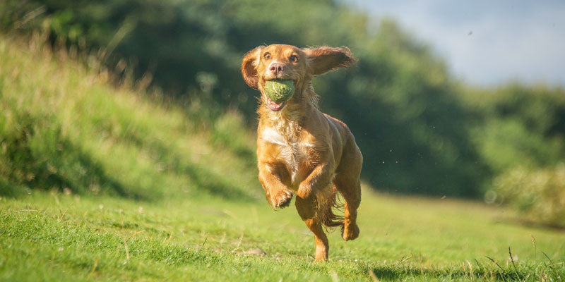 Joint Supplements can help your dog
