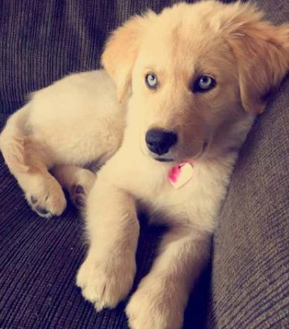 Beautiful Golden Retriever Blue Eye Adorable Dog - breeds11_large  Perfect Image Reference_695094  .jpg?v\u003d1481683301