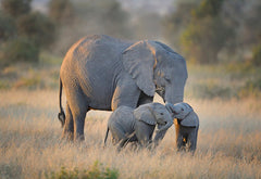 Baby Twin Elephants with Mom Elephant