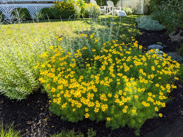 coreopsis in Mystic