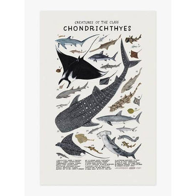 Wall Art Print - Creatures of the Class Chondrichthyes Art Print 12 x 18 inches