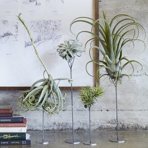 Tillandsia Stands