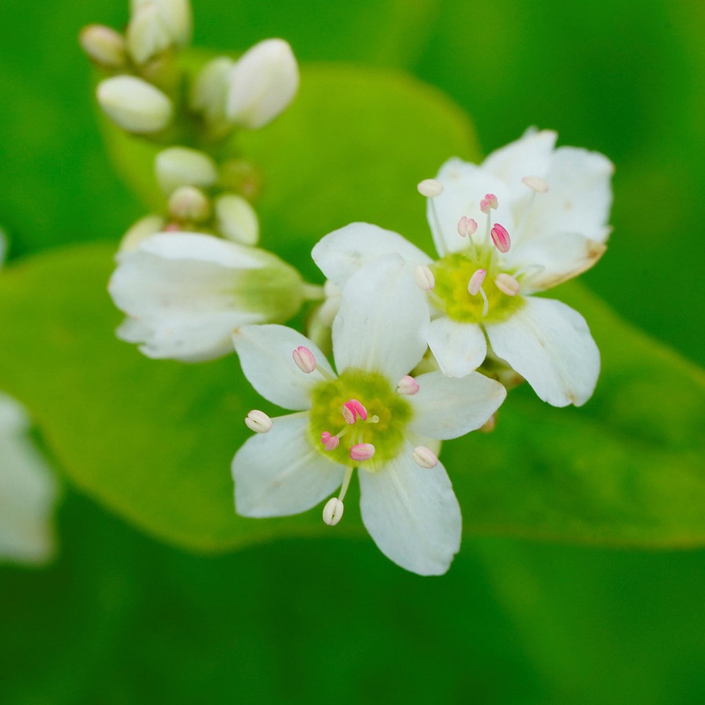 Buckwheat flowers, Buckwheat honey